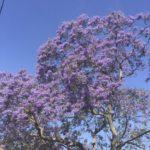 5月のLAで味わえる2つのこと!紫の桜とスタバのフラペチーノ半額祭り